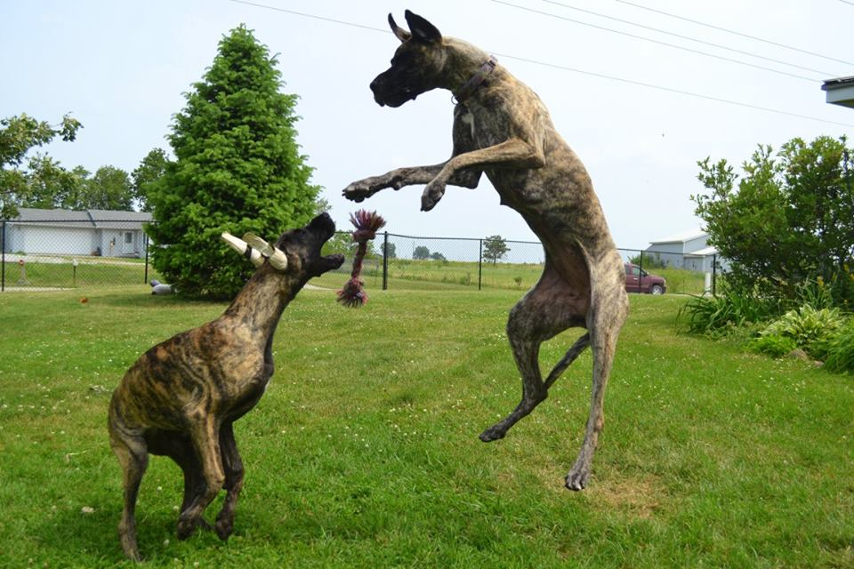 Brindle Great Danes