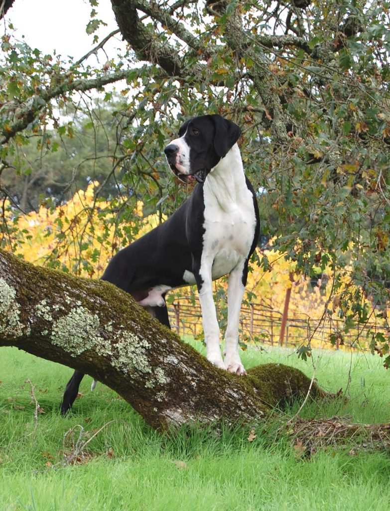 Mantle Great Dane