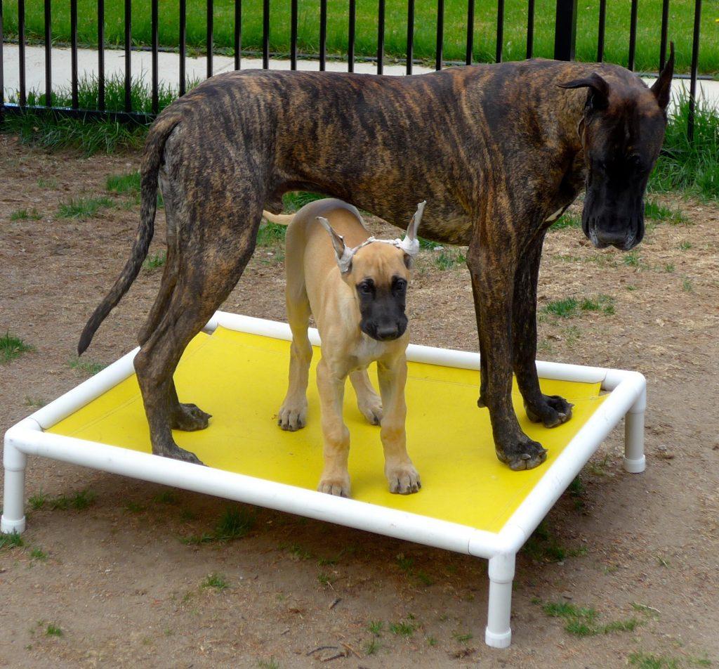 Brindle Great Dane - Fawn Great Dane Puppy
