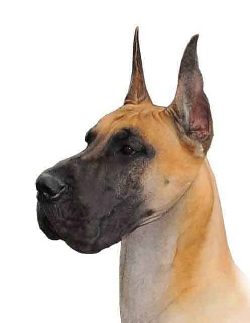 Fawn Great Dane