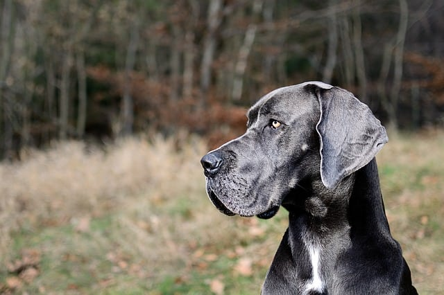 Great Dane Right For Your Family Willamette Valley Great Dane Club
