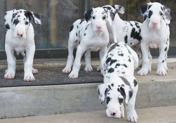 Harlequin Great Dane Puppies